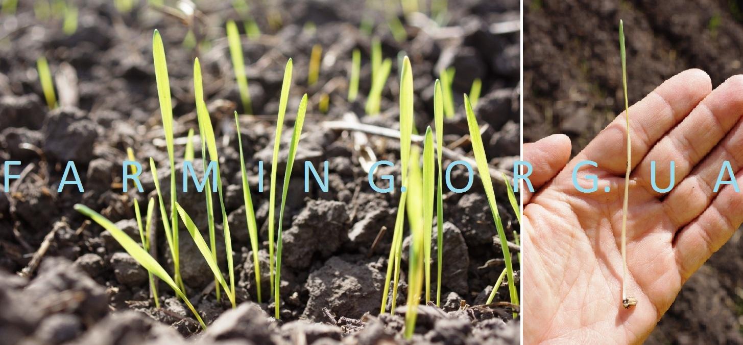 Когда сажать озимую пшеницу в подмосковье 6
