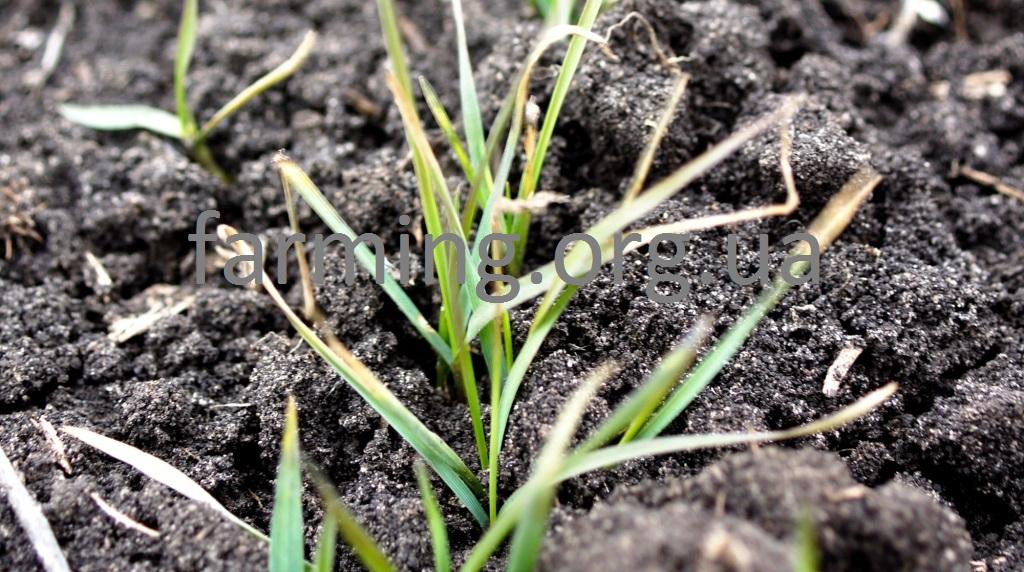 озимая пшеница фото весной всходы пожелтели спросом пользуется керамогранит