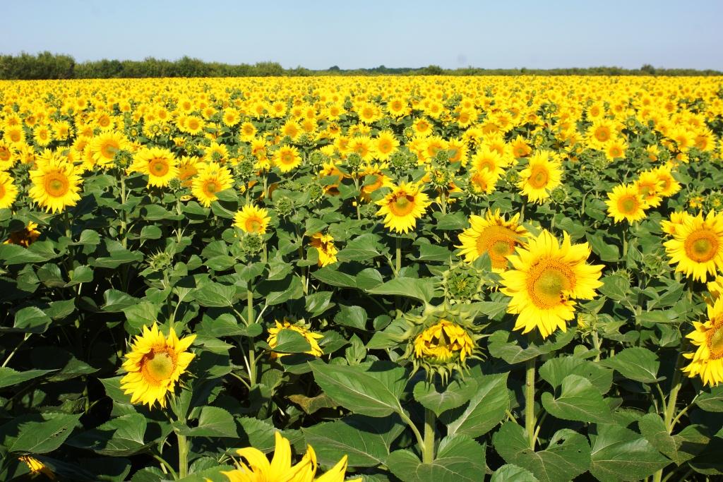 Технологія вирощування соняшнику, вирощування соняшнику | від ...