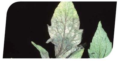 Прмышленное выращивание рассады помидор